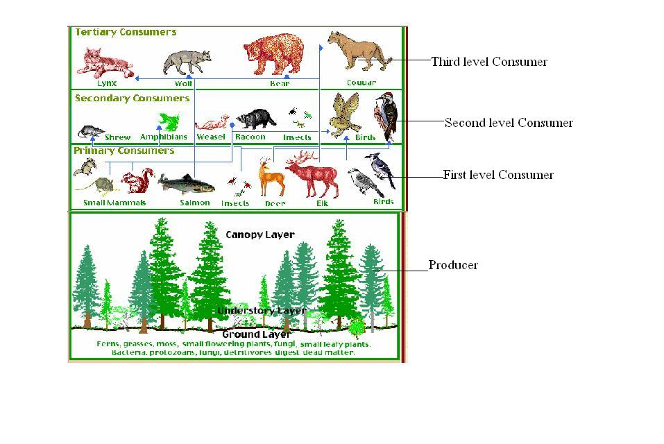 Rainforest Biome Food Web Images & Pictures - Becuo